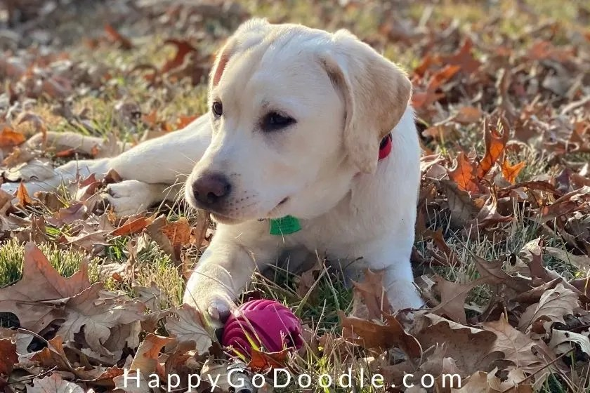 white puppy posing for a photo amidst fall leaves as example of a dog-friendly fall activity, photo