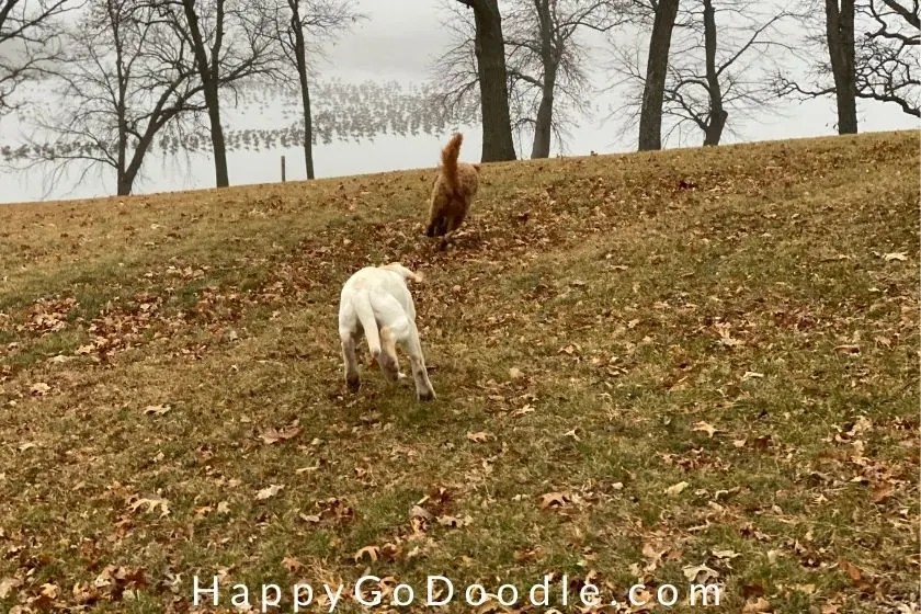two dogs playing a game of chase on a hill on a fall day as example of a dog-friendly fall activity, photo