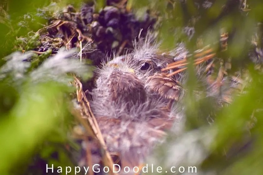 photo of baby robins in nest surrounded by tree leaves, photo