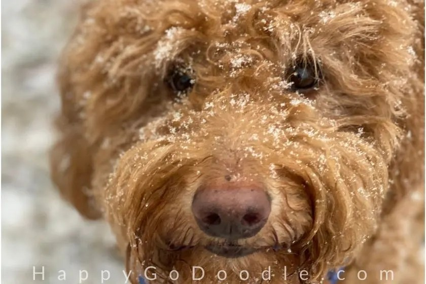 Goldendoodle dog with snowflakes on face, photo