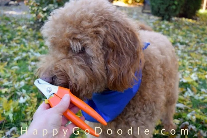 goldendoodle sniffing dog nail trimmers which are an important puppy supply, photo