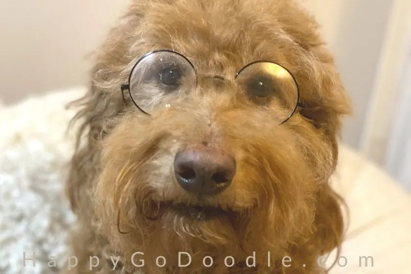 Red Goldendoodle dog wearing glasses and looking smart, photo