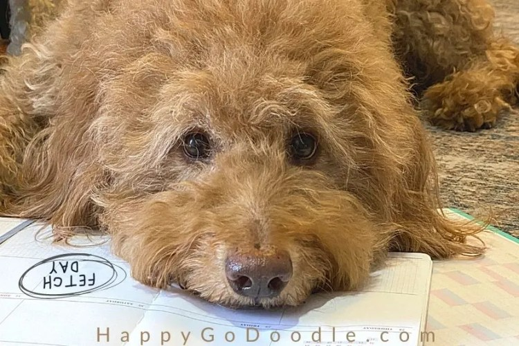 "goldendoodle dog lying on calendar with ""fetch day"" circled, photo"