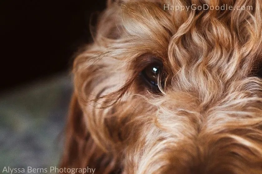 Long eyelashes swooping to the side of a Goldendoodle's eye, photo