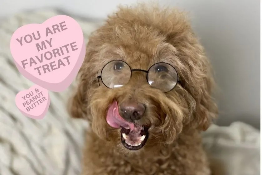 Funny Goldendoodle face with tongue out and meme says, you are my favorite treat, photo