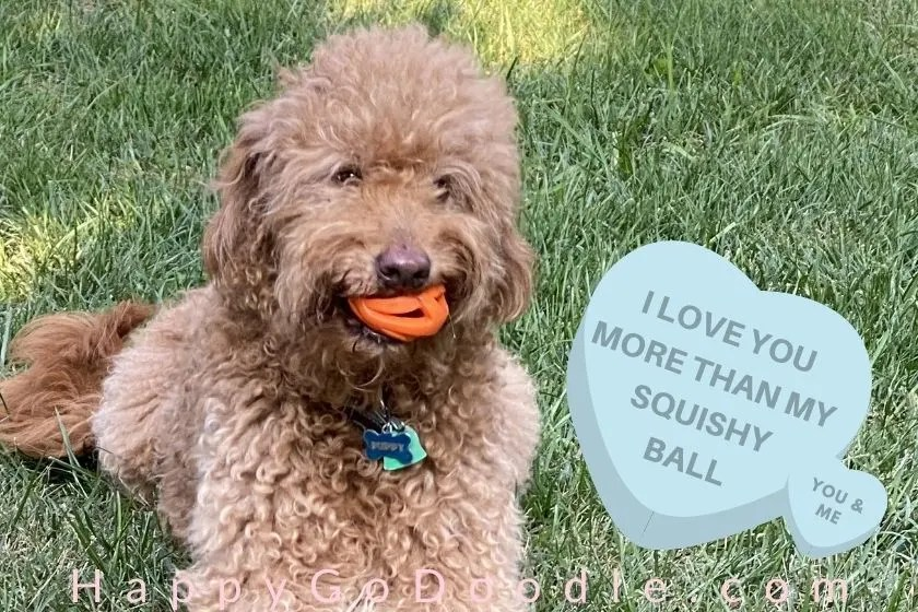 """Red Goldendoodle with squished orange ball and a meme says, """" love you more than my squishy ball, photo"""