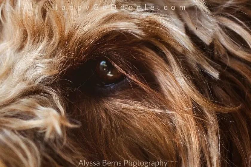 Close up of Goldendoodle's eye and long eyelashes, photo