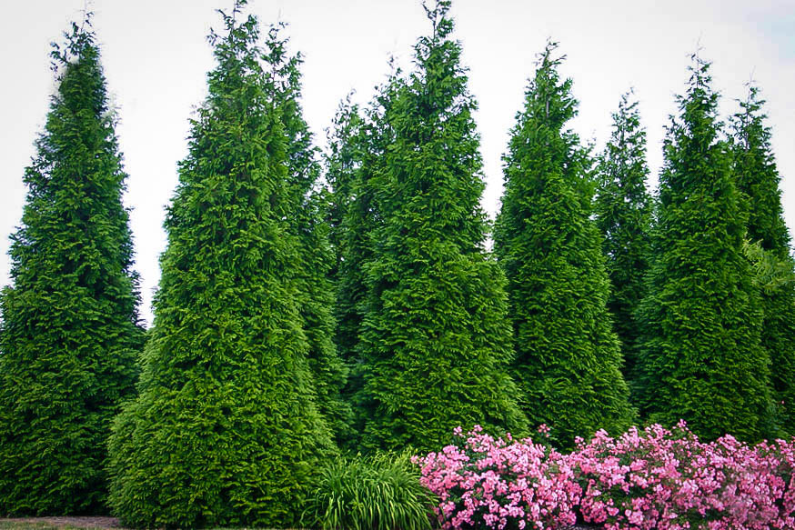 What You Need to Know About the Thuja Green Giant