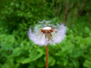 dandelion-20927_1280