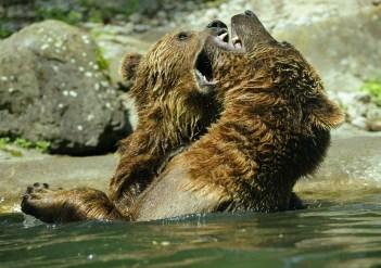 bear-371352_1280