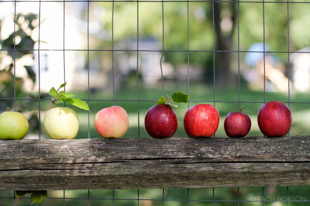 apples on a fence