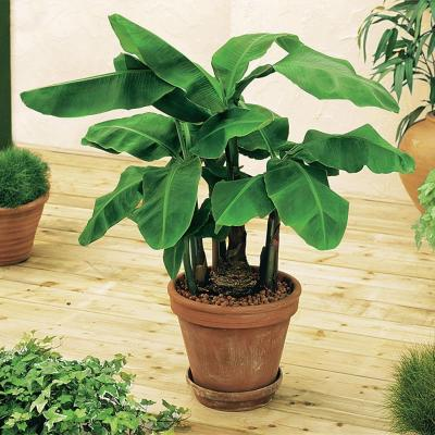 bananenplant-kopen