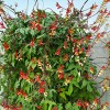 Ipomoea lobata vine flower