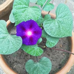 Morning glory flower