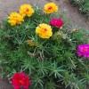 Portulaca flowers plant