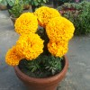 Marigold Inca flower in pots