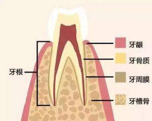 牙周組織圖