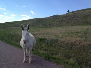 Wild West Road Trip: Custer State Park Donkeys