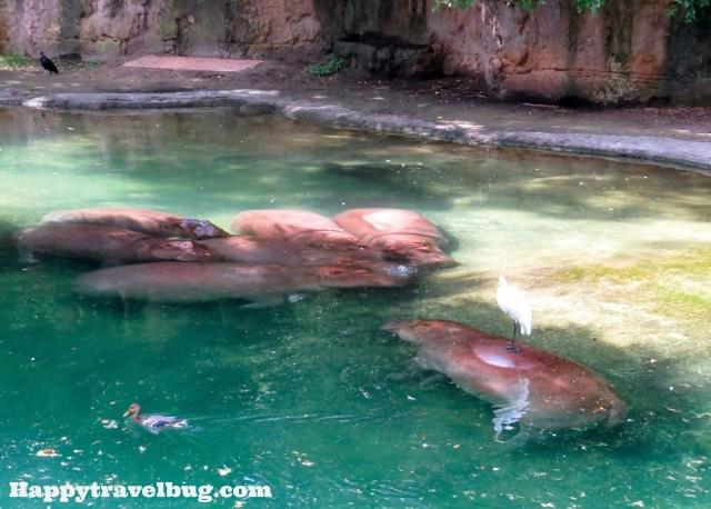 The hippos at Animal Kingdom in Disney World