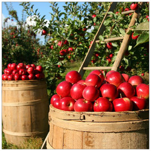 Orchard full of bright red apples with two tall barrels full of apples in front of a wooden ladder