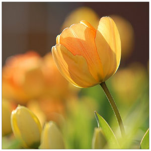 A bright yellow tulip with several more in the background against a brown background