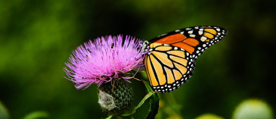 Black, orange, yellow and white Monarch butterfly sitting on a pink flower with blurred trees in background