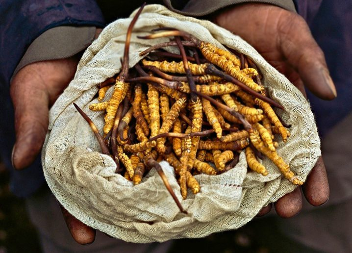 Cordyceps for erectile dysfunction