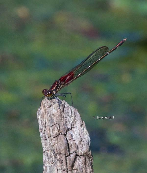 Ruby spot damsel fly, not one of the butterflies of Ponca, but still pretty!