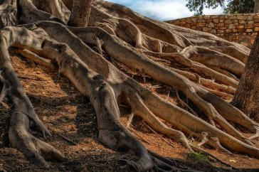 Trees and Roots that Could Damage Your Plumbing System