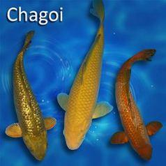 Harga Ikan Koi Chagoi