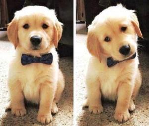 Harga Anjing golden retriever puppy