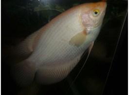 Harga Ikan Gurame Padang