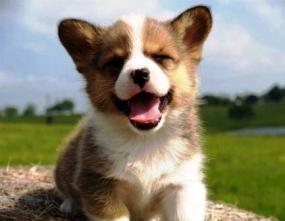 Harga anjing corgi puppy