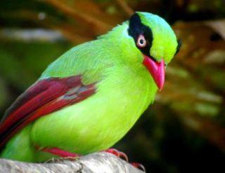 Burung Ekek - Short Tailed Green Magpie