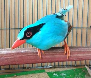 Harga Burung Ekek Biru