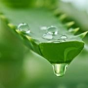 Lidah buaya, salah satu bahan alami untuk melembabkan rambut