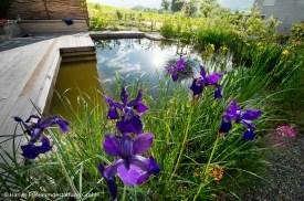 Sibirische Schwertlilien als Uferbepflanzung Blick über Familienschwimmteich