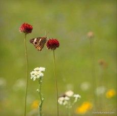 Buckeye Butterfly, Oklahoma