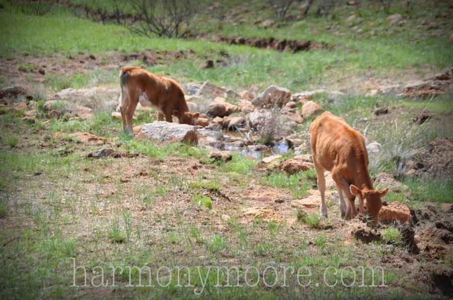 Longhorn Calves, Wichita Mountains