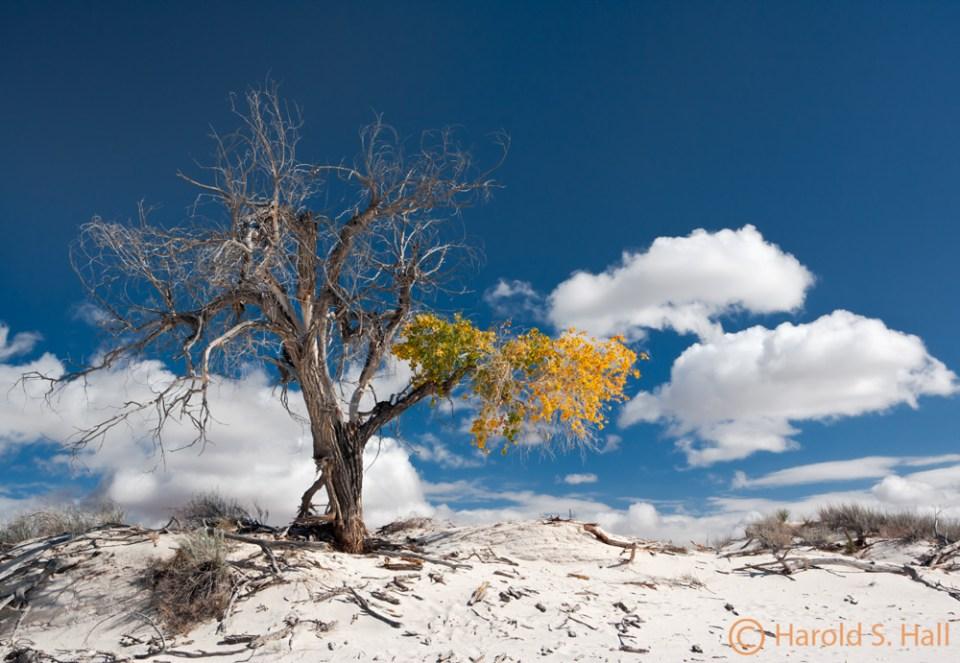 White Sands Cottonwood