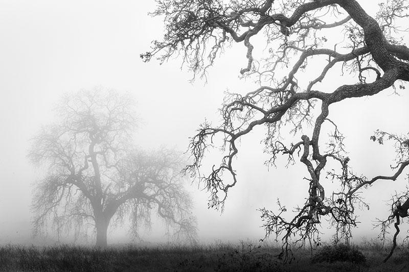 Oaks in the Mist