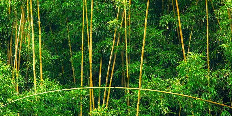Bent Bamboo