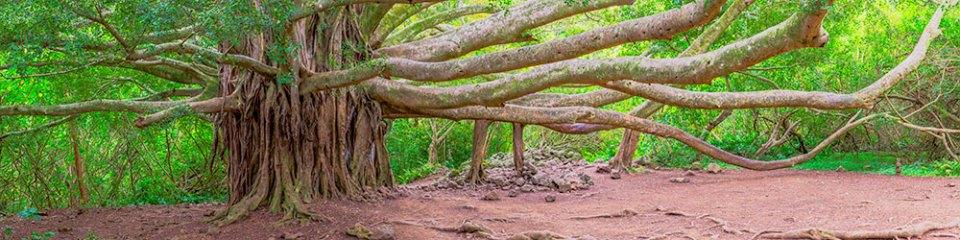 Pipiwai Trail Banyon Tree