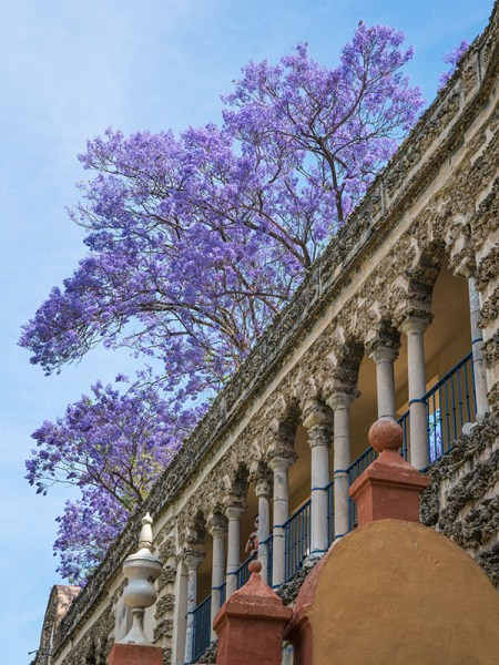 Jacaranda tree in bloom at the Alcazar Palace