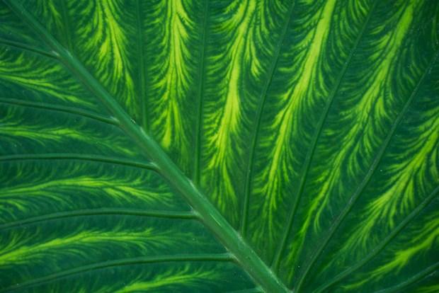 Giant plant leaf