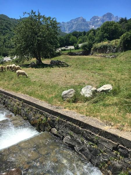 Sheep by the Panticosa Stream