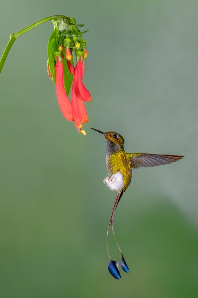 Booted Rocket Tail Hummingbird