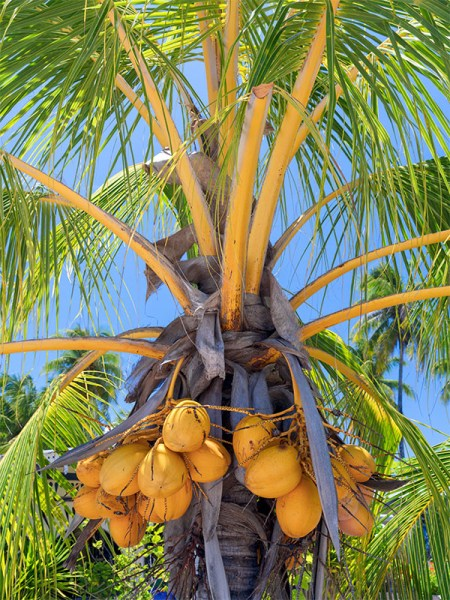lovely bunch of coconuts