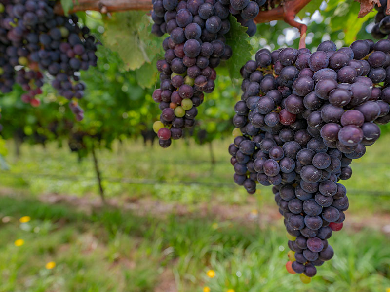 New Zealand grapes