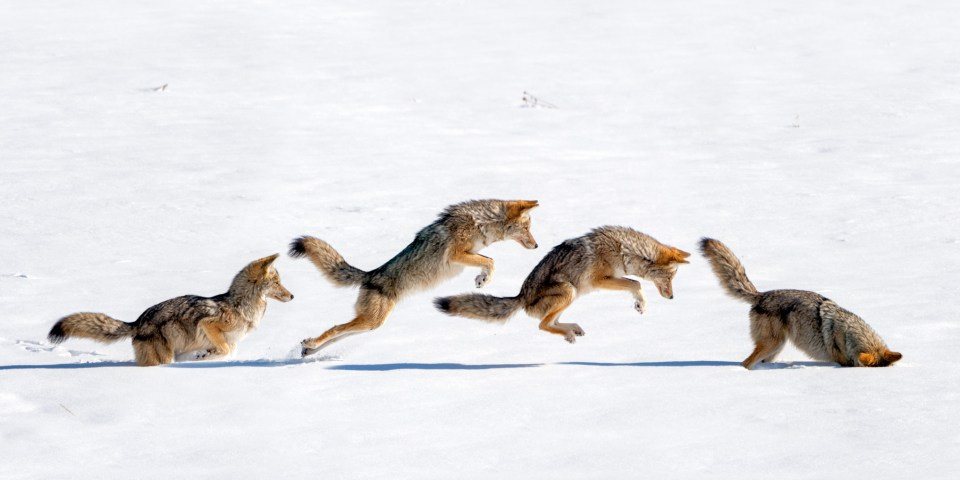A coyote locates a vole by listening, then pounces on lunch.